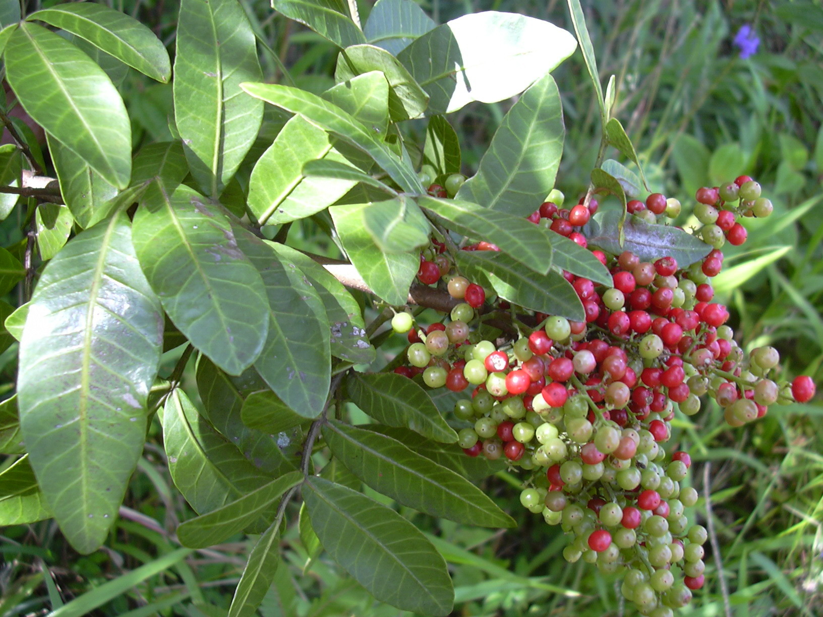 How to Cut Out Brazilian Pepper Trees