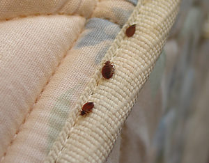 How to Deal with Bed Bugs in Emeryville and Beyond